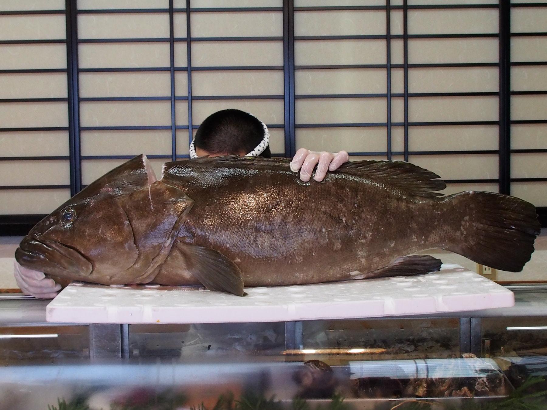 九州玄海灘産の天然 クエ 25㌔♬これから九州場所でクエの時期がやってきましたね♬身の締りも脂のノリもバッチリです!来年はクエのコースイベントを考えていますが・・・。まだ、未定です。是非一度、鍋の王様を体験してみていただきたいです♬
